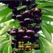 大樱桃树苗、新品种大樱桃树苗、新品种大樱桃树树苗、大樱桃树苗价格多少