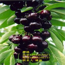 黑珍珠櫻桃樹苗適合什么地方種植、黑珍珠大櫻桃樹苗哪里的品種純正?圖片