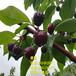 早熟大櫻桃樹苗什么品種好、早熟齊早大櫻桃樹苗新品種、早熟齊早大櫻桃樹樹苗價格多少