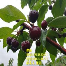 2019年黑珍珠櫻桃樹苗新品種、黑珍珠大櫻桃樹苗新品種、黑珍珠大櫻桃樹苗多少錢一棵圖片