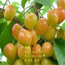 泰安黄蜜樱桃苗、泰安黄蜜樱桃树苗新品种、泰安黄蜜大樱桃树苗价格多少图片