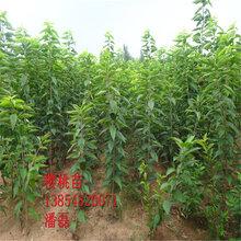 大紫樱桃树苗、大紫大樱桃树树苗新品种、大紫大樱桃树苗价格多少