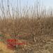 美早大樱桃树苗、美早大樱桃树苗新品种、美早大樱桃树苗多少钱一棵