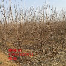 10公分櫻桃樹苗、10公分大櫻桃樹苗新品種、10公分大櫻桃樹苗多少錢一棵圖片