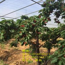 大櫻桃樹苗-大櫻桃樹樹苗新品種-大櫻桃樹苗價格多少-大櫻桃樹苗基地圖片