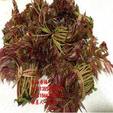 香椿苗、香椿树苗想品种、红油香椿树苗多少钱一棵图片