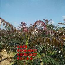 大棚红油香椿树苗、大棚红油香椿树苗价格多少、大棚红油香椿树树苗价格多少图片