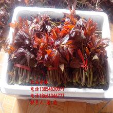 紅香椿樹苗、紅油香椿樹苗新品種、紅油香椿樹苗價格多少圖片