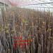 2公分紅油香椿樹苗、2公分紅油香椿樹苗新品種、2公分紅油香椿樹苗多少錢一棵