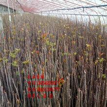 2公分紅油香椿樹苗、2公分紅油香椿樹苗新品種、2公分紅油香椿樹苗多少錢一棵圖片