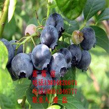 珠寶藍莓苗、珠寶藍莓樹苗新品種、珠寶藍莓樹苗多少錢一棵、珠寶藍莓樹苗價格多少圖片