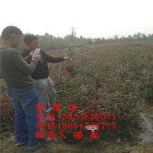 莱克西蓝莓树苗、莱克西蓝莓树苗新品种、莱克西蓝莓树树苗价格多少图片