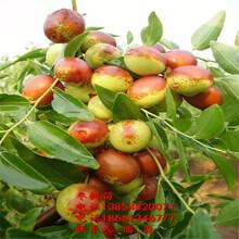 二代冬棗樹苗、二代冬棗樹苗新品種、二代冬棗樹樹苗多少錢一棵圖片