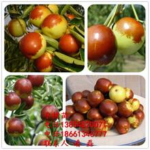 沾化冬棗樹苗、沾化二代冬棗樹苗新品種、沾化二代冬棗樹苗價格多少圖片