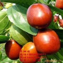 出售冬棗樹苗、冬棗樹苗新品種、冬棗樹樹苗價格多少圖片