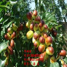 冬棗樹苗、冬棗樹苗新品種、冬棗樹樹苗新品種、冬棗樹苗價格多少圖片