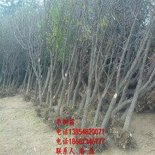 3公分枣树苗、3公分冬枣树苗新品种、3公分冬枣树树苗多少钱一棵图片
