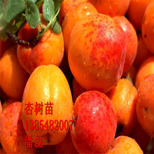 红丰杏树苗、红丰杏树苗新品种、红丰杏树苗多少钱一株图片