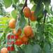 山东杏树苗、山东杏树苗新品种、山东杏树苗价格多少
