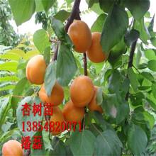 珍珠油杏樹苗、珍珠油杏樹樹苗新品種、珍珠油杏樹苗價格多少圖片