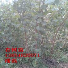 山东杏树苗新品种-金太阳杏树苗、凯特杏树苗、红丰杏树苗新品种图片
