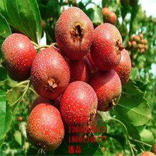 山西大金星山楂树苗、大金星山楂树苗新品种、大金星山楂树树苗价格多少图片