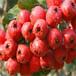 哪里卖甜红子山楂树苗、甜红子山楂树苗多少钱一棵、甜红子山楂树苗价格多少