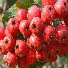 哪里賣甜紅子山楂樹苗、甜紅子山楂樹苗多少錢一棵、甜紅子山楂樹苗價格多少圖片
