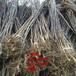 山东山楂树苗、山东山楂树苗新品种、山东山楂树树苗价格多少