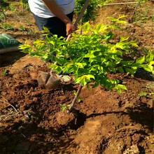 农户直销安哥诺李子树苗安哥诺李子树小苗种植基地图片