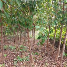 直径三公分法兰西西梅李子树苗女神西梅李子树小苗联系方式图片