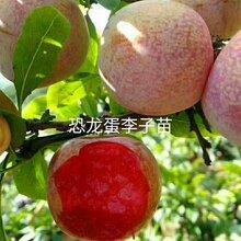 一(yi)米以上恐龍(long)蛋李(li)子樹(shu)苗恐龍(long)蛋李(li)子樹(shu)小苗栽種(zhong)季節