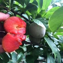 两年生西梅李子树苗西梅李子树小苗栽种季节图片