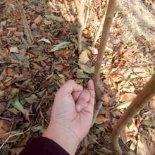 直径1公分黄金李子树苗风味玫瑰李子树小苗联系地址图片