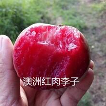直径一公分风味玫瑰李子树苗味帝李子树小苗批发报价图片