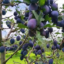 粗度1公分蓝莓西梅李子树苗蓝莓西梅李子树小苗图片