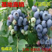 高(gao)度1米大果藍金藍莓苗大果藍金藍莓樹(shu)苗售賣(mai)價格