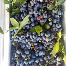 1米高(gao)美(mei)登藍莓苗美(mei)登藍莓樹(shu)苗直供