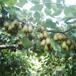黃金果獼猴桃樹苗三公分粗圖片展示