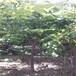 凱特杏樹小苗生產基地