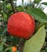 恩施嬡紅柑橘苗恩施新品種苗