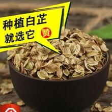 东三省种芍药苗包技术种植图片