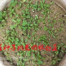 纯新白芷种子成本亳白芷种子播种方法图片
