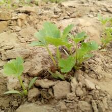 纯新白芷种子效益禹白芷种子种子技术图片