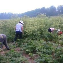 纯新白芷种子种植亳白芷种子颜色青茬图片
