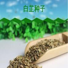 纯新白芷种子效益川白芷种子产地货源图片