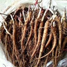 芍药苗的批发云贵川种植地区新疆芍药图片