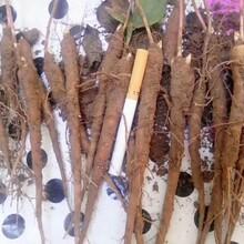 种植芍药苗的天气技术支持种植时间图片