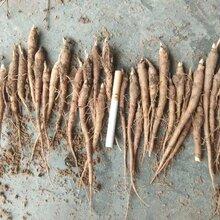 芍药苗种植深度产地芍药种子一亩地3000棵图片