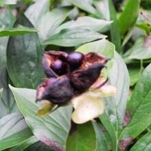 白芍种苗芍药苗免费种植技术图片